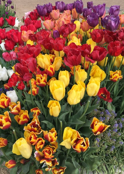 Tulips of many colors and shapes.