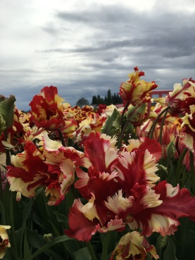 Glowering skies, beautiful tulips.