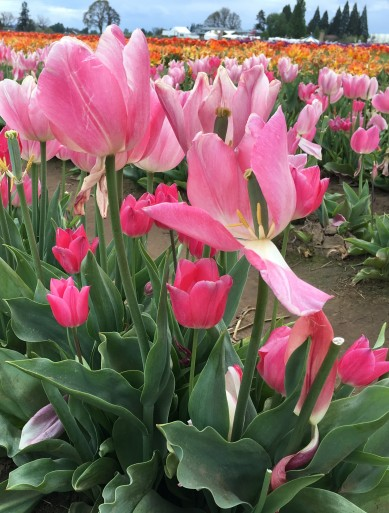 Tiny hot pink tulips mixed in with the big.