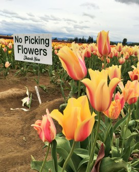 A discarded tulip under a no picking sign. How sad.